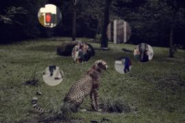 Self Reflection (Cheetah)